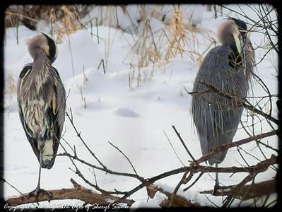 Heron Love  Photographer's Name: Sheryl Smith Photographer's City and State: wonder lake, IL