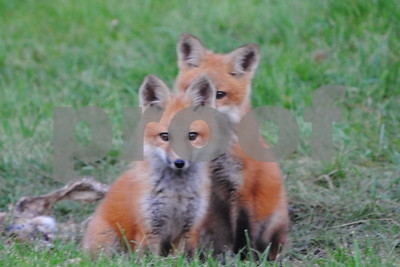 Baby foxes playing around  Photographer's Name: Kathy Hall Photographer's City and State: Kirkland, IL