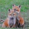 Baby foxes playing around<br /> <br /> Photographer's Name: Kathy Hall<br /> Photographer's City and State: Kirkland, IL