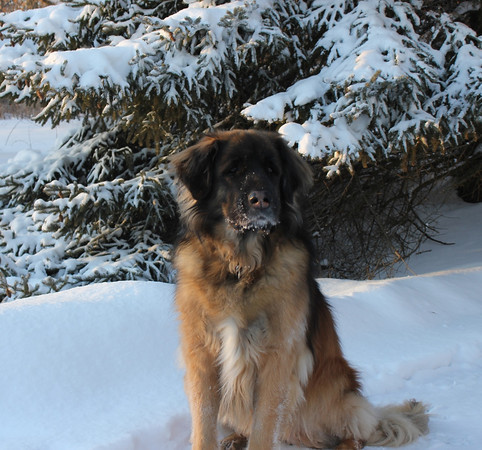 Kyla (Leonberger) enjoying the snow<br /> <br /> Photographer's Name: Sylvia Kaufmann<br /> Photographer's City and State: Elbrun, IL