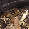 chipmunk in compost<br /> <br /> Photographer's Name: Brenda Ginther<br /> Photographer's City and State: North Aurora, IL