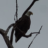 Eagle sitting in a tree by Fox River in Saint Charles<br /> <br /> Photographer's Name: Jennifer Mobley<br /> Photographer's City and State: Saint Charles, IL