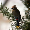 Cedar Waxwings feasting on Juniper berries.<br /> <br /> Photographer's Name: Angie Sutherland<br /> Photographer's City and State: Batavia, IL