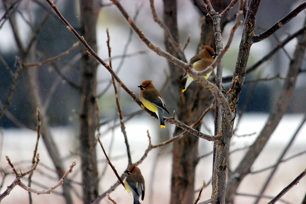 Cedar Waxwings visit to ring in March.<br /> <br /> Photographer's Name: Angie Sutherland<br /> Photographer's City and State: Batavia, IL