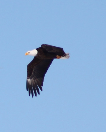 Bald Eagle Along Fox River in Geneva<br /> <br /> Photographer's Name: Dave Soderstrom<br /> Photographer's City and State: St Charles, IL