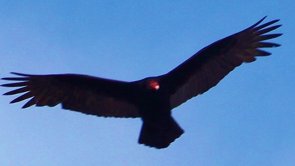 Turkey Vulture in Geneva<br /> <br /> Photographer's Name: Dave Soderstrom<br /> Photographer's City and State: St Charles, IL