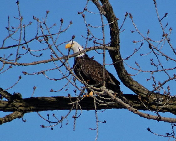 Bald Eagle in a Tree by Geneva Dam.<br /> <br /> Photographer's Name: Dave Soderstrom<br /> Photographer's City and State: St Charles, IL