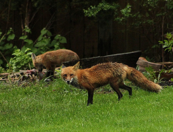 Foxes Along South Tyler Rd<br /> <br /> Photographer's Name: Dave  Soderstrom<br /> Photographer's City and State: St Charles, IL