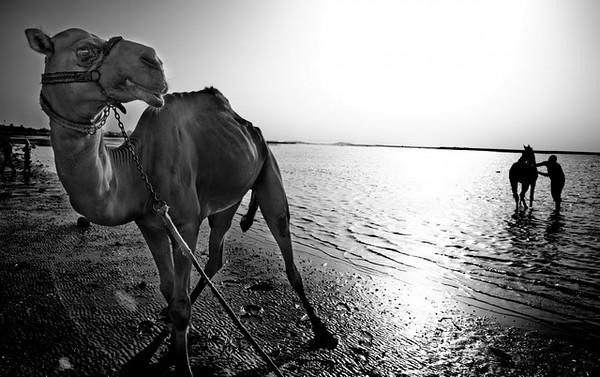 No Bahrain é tradição de fim-de-semana das famílias mais abastadas passearem os camelos e cavalos pela praia.<br /> 2012