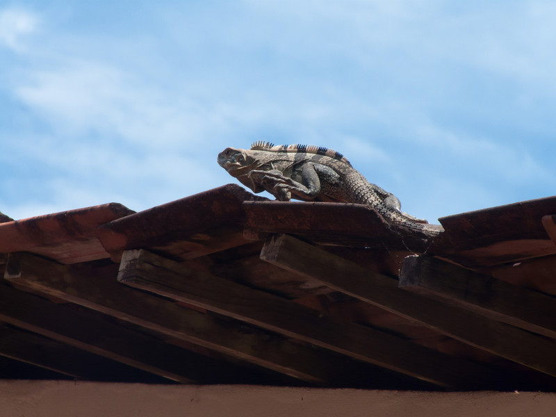 Very common sight.  They seem to love the heat from the tiled roof tops, and maybe the vantage point for catching breakfast.  We encountered no mosquitos at all so maybe that was thanks to these guys.<br /> ??