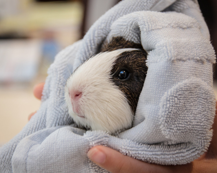 Our guinea pig, Melody, after her bath.