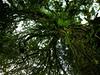 Ascending a large <i>Sloanea</i> tree in Costa Rica  Don Filipiak AsydaBass@yahoo.com
