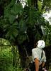 Taking a moment to reflect in the canopy of a <i>Sloanea</i> tree, Rara Avis, Costa Rica.  Don Filipiak AsydaBass@yahoo.com