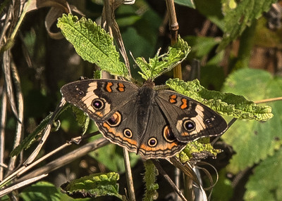 a Common Buckeye butterfly at Coffee Creek Watershed Preserve, Chesterton, IN