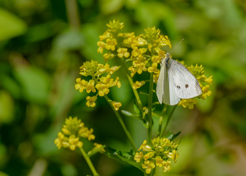 a Cabbage White butterfly at Indiana Dunes Great Marsh Trail, Chesterton, IN