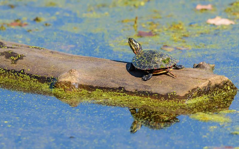 A Painted turtle sunning in warm early August sun at Potato Creek State Park