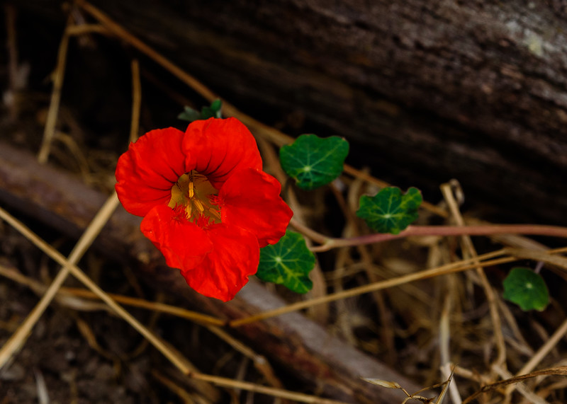 A Nasturtium (Tropaeolum majus) somewhere in Berkeley, CA