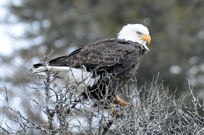 Bald Eagle with his eye on an animal carcass in Yellowstone.