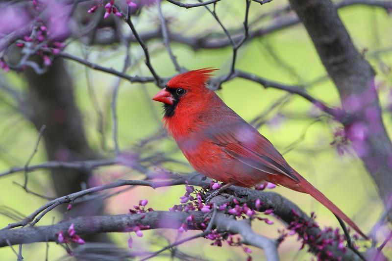 Northern Cardinal m