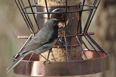 Dark-eyed Junco m