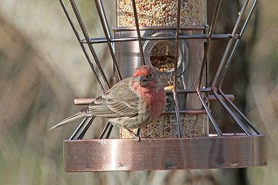 House Finch m