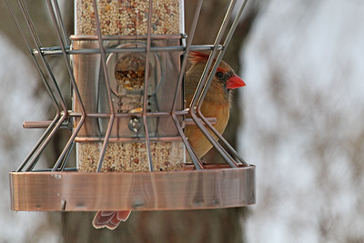 Northern Cardinal f