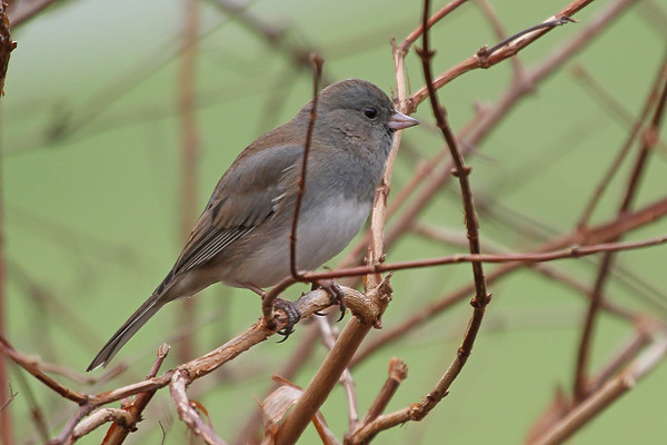 Dark-eyed Junco f
