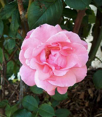 pink_rose2