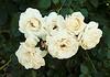 white_roses1
