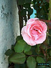 pink_rose3