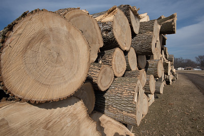 Ash Trees