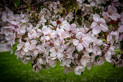 Blossoms at West High School