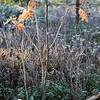 Rowan tree with Frost
