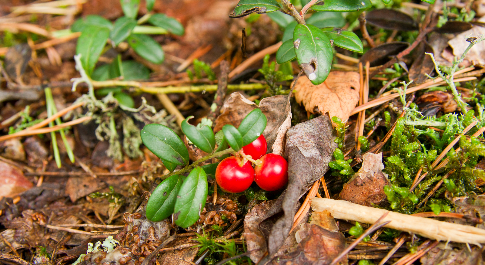 Red Lingon Berry