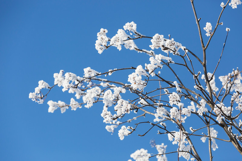 Ice Blossoms