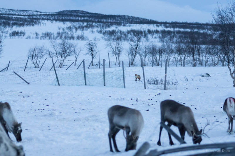 Fox checking out the reindeer