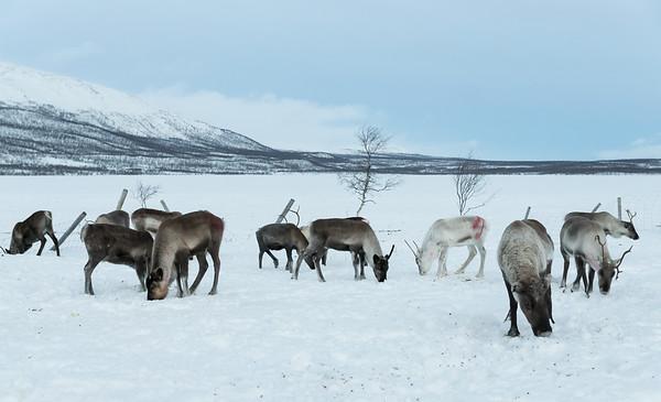 Reindeer herd at Kilpisjarvi