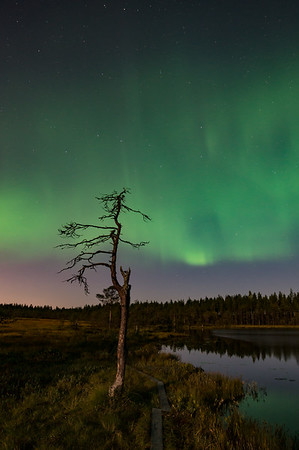 Pine in the Full Moon and under the Aurora Borealis