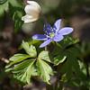 Anemone Nemerosa and Anemone Hepatica
