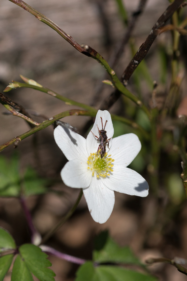 Anemone Nemerosa and insect