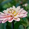 Light Pink Dahlia and leaf