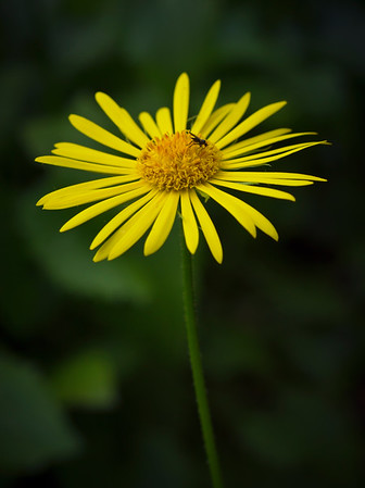 Doronicum and Insect