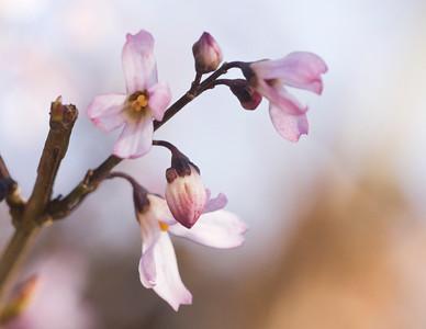 Oleaceae Abeliophyllum distichum Nakai