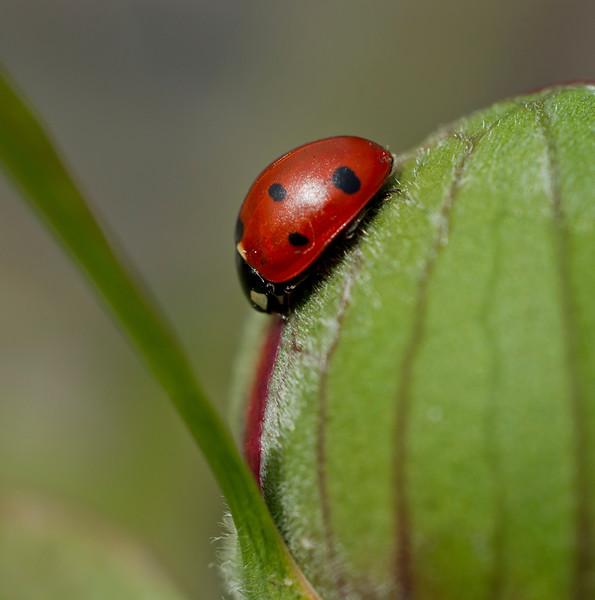 Ladybird on a peony bud