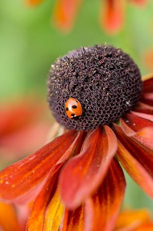 Gloriosa Daisy with Ladybird