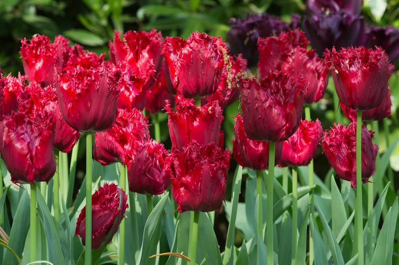 """Tulipa Fringed Group """"Mazda"""" 02"""