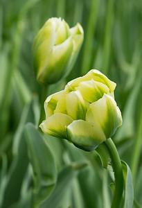 "Tulipa ""Spring Green"" 03"