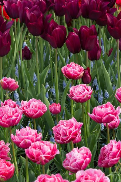 Tulipa Merlot, Tulipa Aveyron and Muscari Valerie Finnis