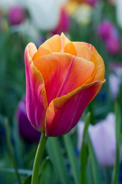 Pink and Orange Tulip