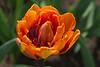 "Tulipa ""Orange Princess"""